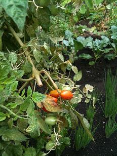 mitakenooka kumin saien tomato 0.15
